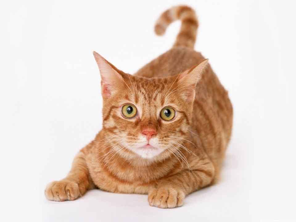 猫癣是什么,怎么防治,有什么好办法